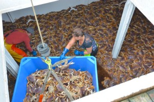"""Unloading the """"Hardshell Gold"""" of Oregon Coast Dungeness Crab back in Newport."""