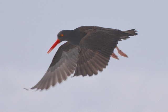 Oyster Catcher on final... Ken Gagne photo