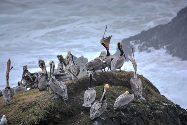 Pelicans offshore at Seal Rock Ken Gagne photos