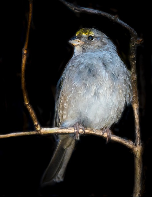 Gold Crowned Sparrow Caught Donna Plummer's eye...