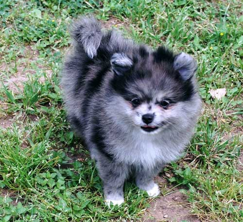 Pomeranian similar to this one is missing from Debbie Herres home at 540 SE 1st in Toledo!  Seen it?  541-272-8110!