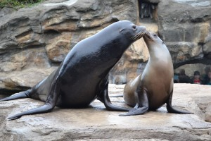 Sea Lions practicing for the big day with Humans! OCA photo