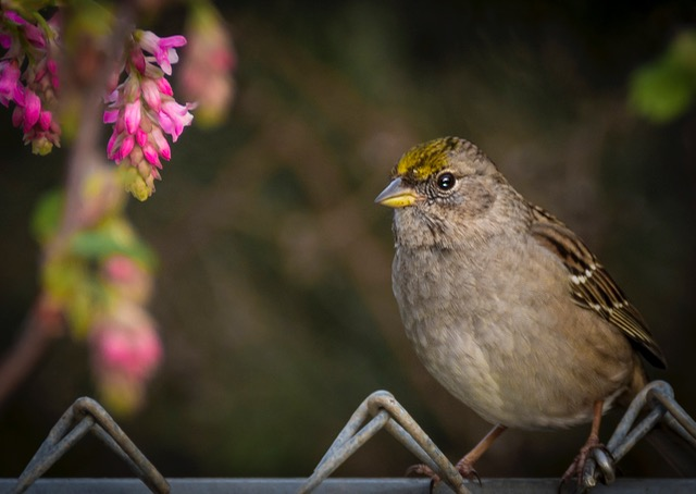 Gold Crowned Sparrow Donna Plummer photo