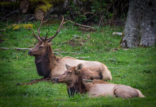 Donna came across a big herd of Elk on Cascade Head and snapped a picture of two of 'em... Donna Plummer photo