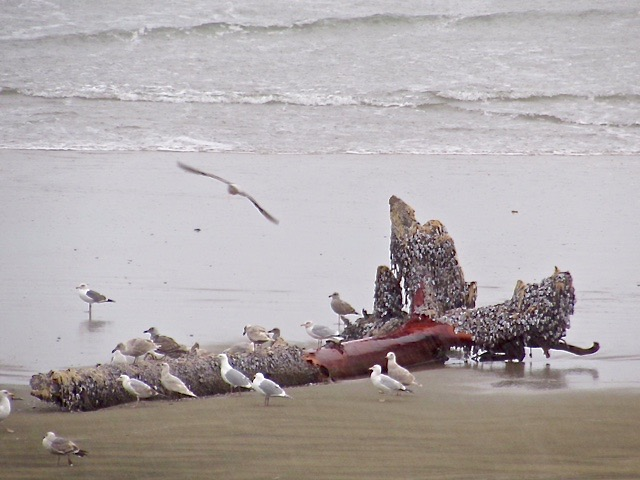A sea going tree beached by the surf at South Beach is providing quite a buffet line for local seagulls.