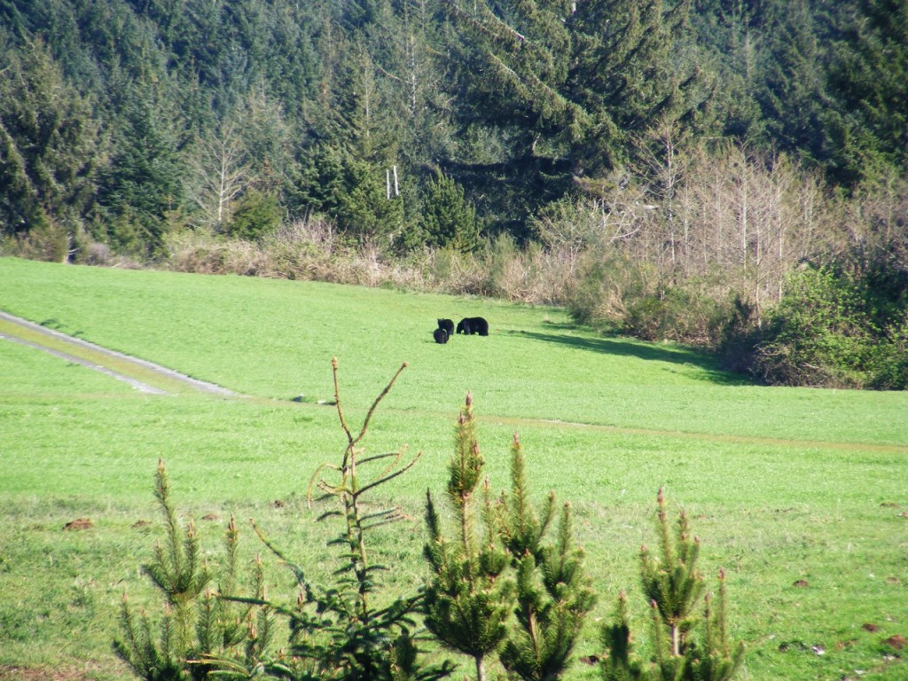 Cubs and Mama Bear near Newport Airport