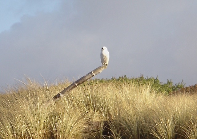 Snowy Owl A stand-out in any scene! Julie Sacchetti photo