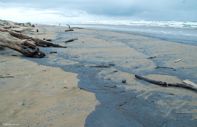 Velellas are coming ashore along the Central Coast.  Waldport Roy Lowe photos