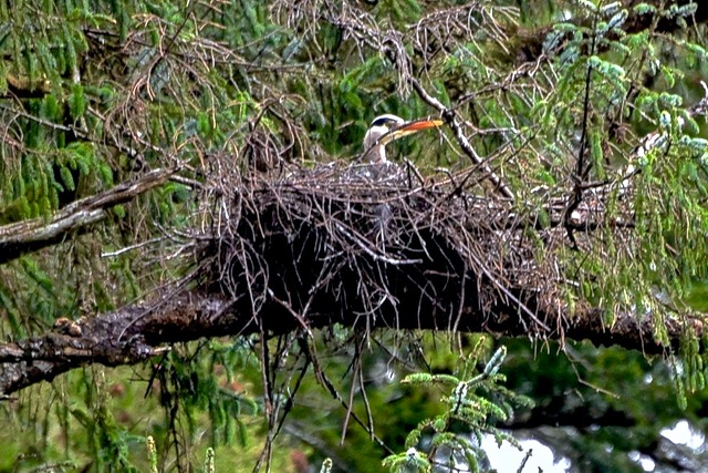 Guarding the future of the Blue Heron community? Ken Gagne photos