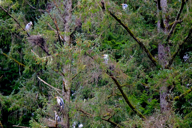 Blue Herons in the trees seem to be up to something...