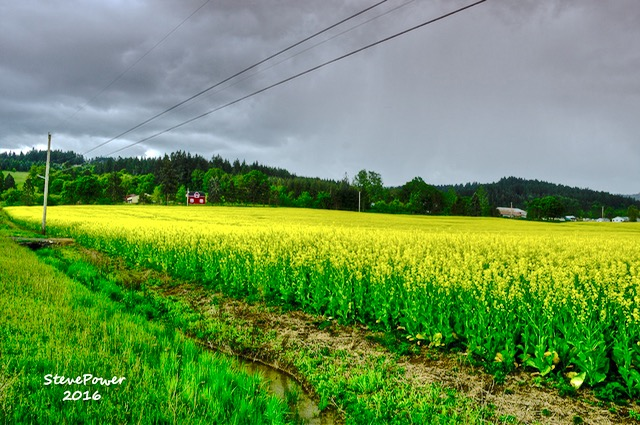 Swapping strawberry fields for fields of mustard! Steve Power off Hwy 22