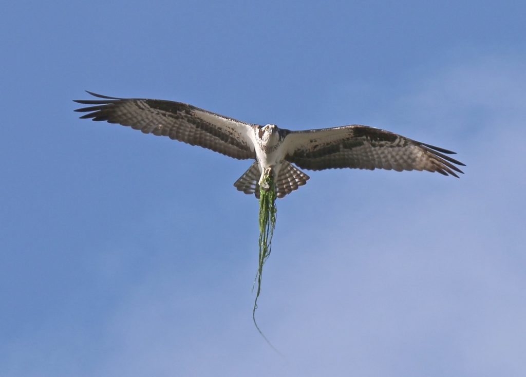 Osprey building a nest, racing the bright thing below...