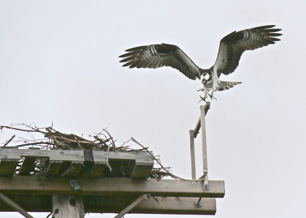 """""""Uh...Rrrroger there Osprey 16.  Clear to land on power pole 4-7 Alpha!  Welcome to Waldport."""""""