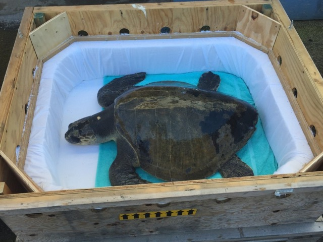 """""""Thunder"""" was found deceased in her rehabilitation tank at Sea World.  """"Lightning"""" is still recovering."""