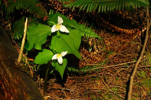 On a walk with friends...Kerry Terrel comes across Trillium trying to grow incognito!