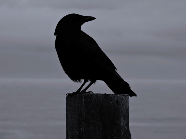 """This crow may say """"Nevermore"""" but there will be a tomorrow! Ken Gagne photo"""