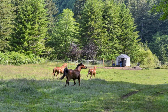 These horses can smell an apple a football field away.   We call'em the Gagne Gang. Gangbanger Ken snapped the proof.
