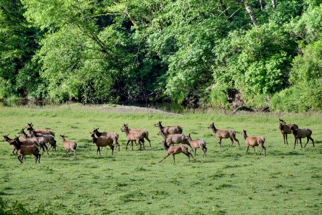 Elk on the move headed downriver on the yachats news for Free fishing weekend oregon