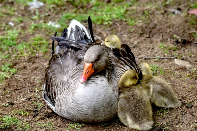 Very much springtime on the Oregon Coast!  Baby geese have arrived!