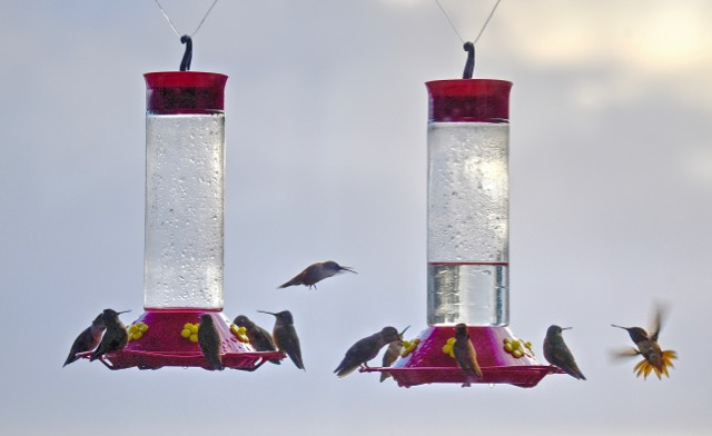 Meanwhile, humming birds feeding at Gagne's bird feeder back at his house says...Hey Kenny G!  we're runnin' out of fuel!  Put down that camera and feed us!!