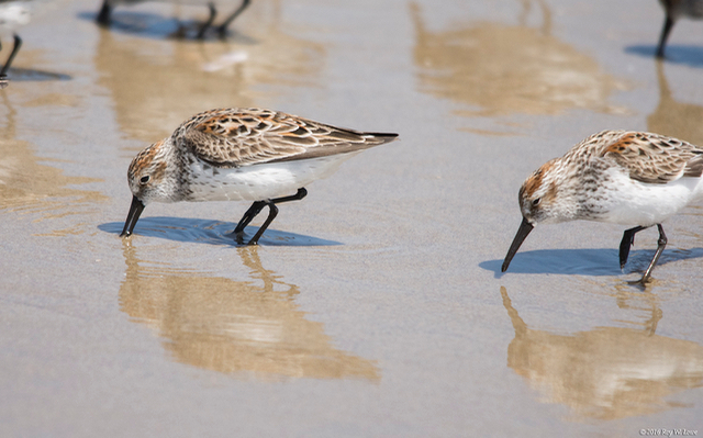 Sandpipers chowin' down on the Bayshore!