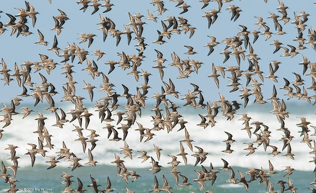 Beach air filled with Sandpipers. Roy Lowe photos