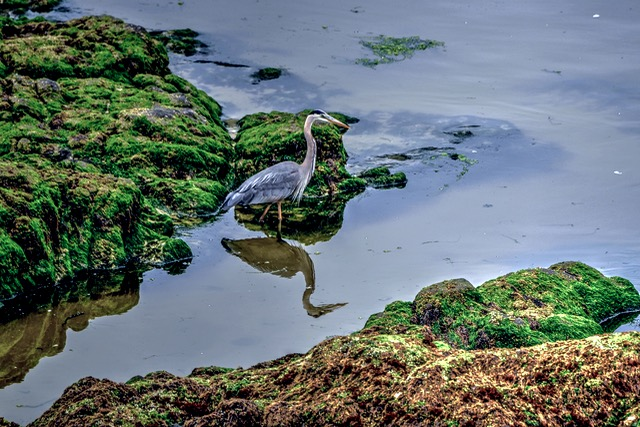 """Out for dinner... """"Blue Heron!  Tidepool for one! Ken Gagne photo"""