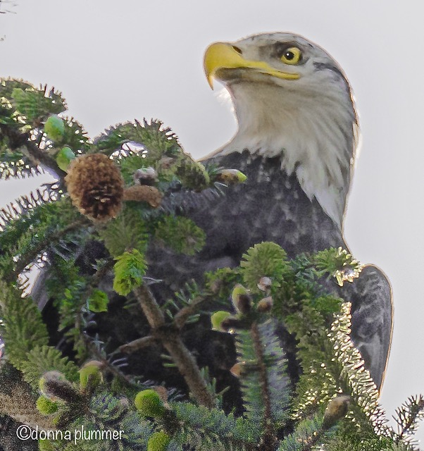 Young Bald Eagle atop a tree near Donna Plummer!