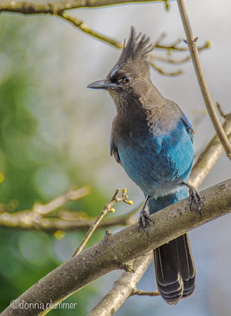 A jay on the look out for lunch... Donna Plummer