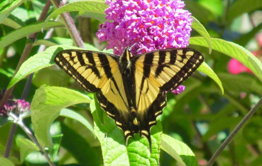 A butterfly enjoying Spring's slide into Summer!
