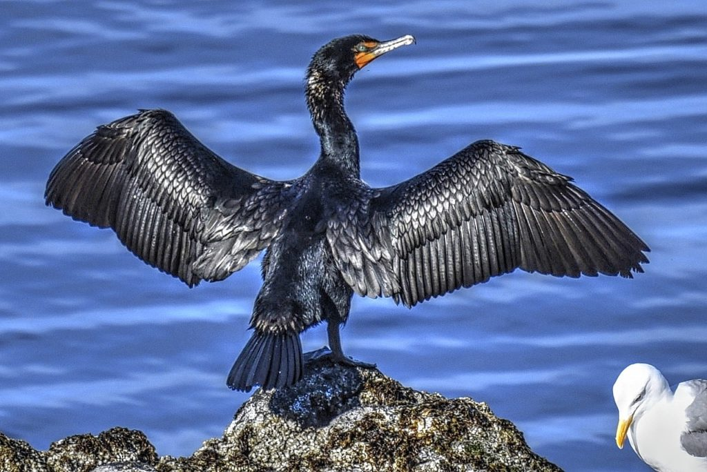 Cormorant - fresh out of the water fishing!  The seagull seems thoroughly unimpressed. Ken Gagne photo