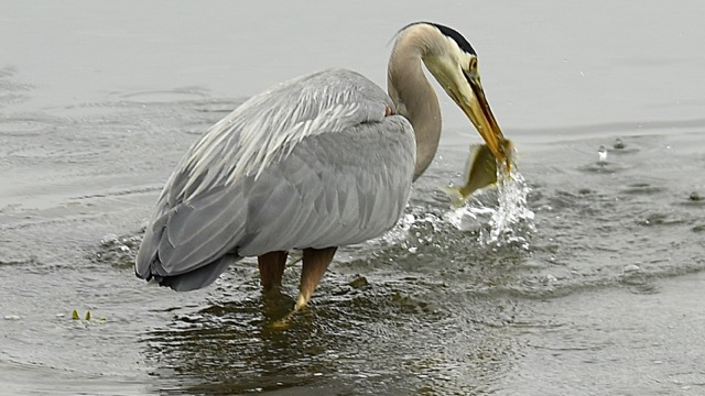 Heron enjoys a free breakfast at the HMSC estuary at South Beach Keith Nelson photo