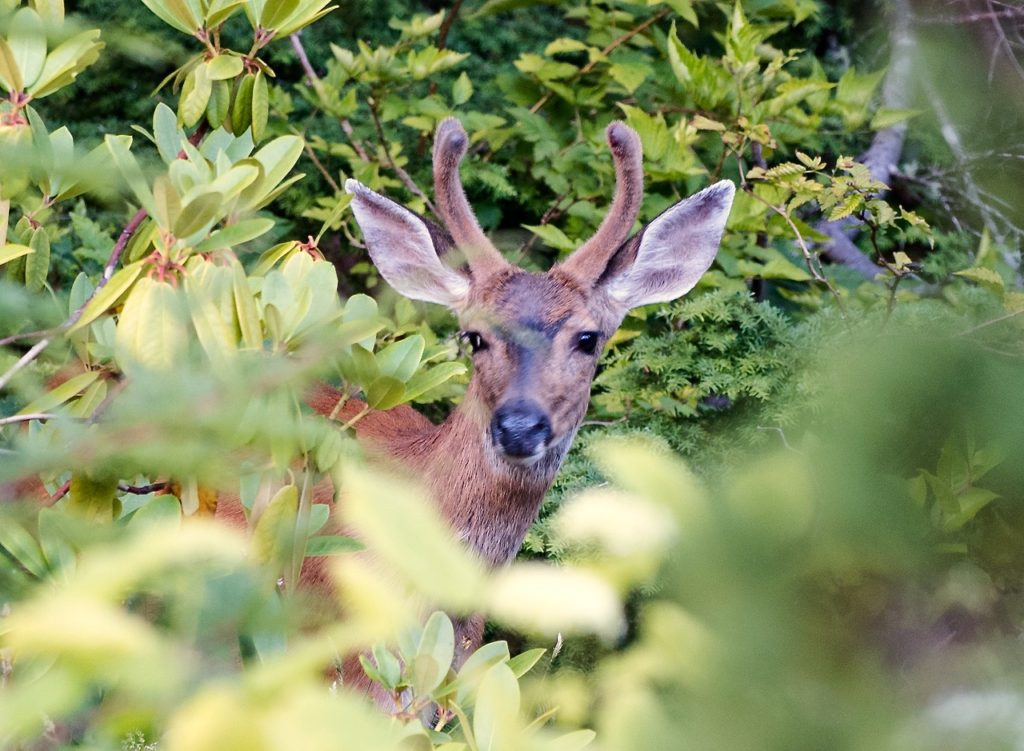 Peek-a-boo with Bambi Dennis Meredith photo