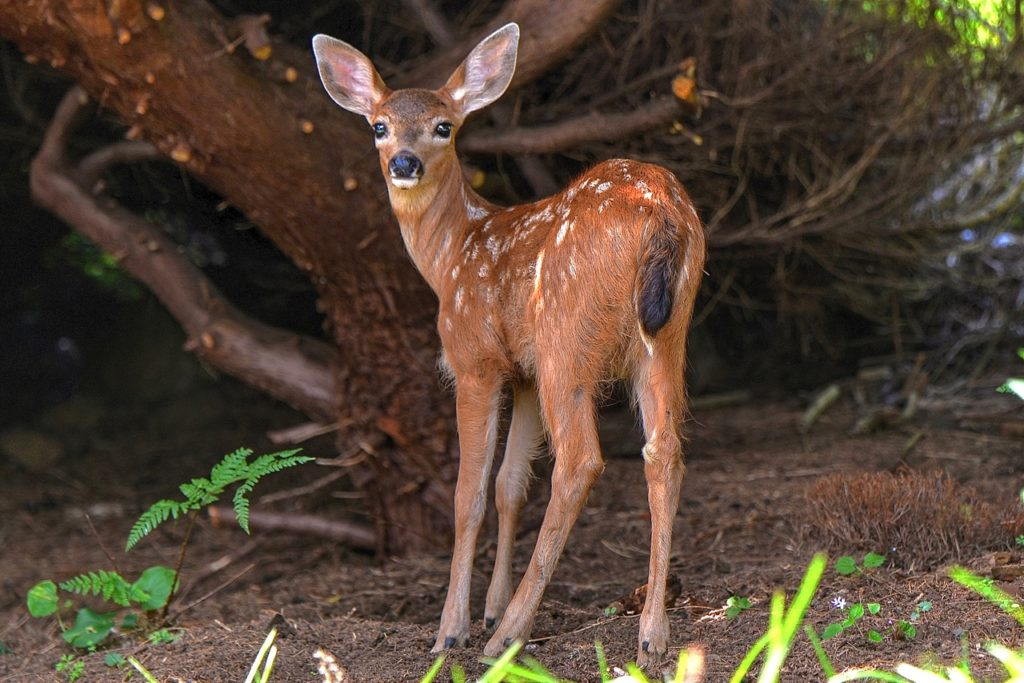 Ken Gagne found this young fawn hangin' out under a big tree, probably waiting for mom. Ken Gagne photo