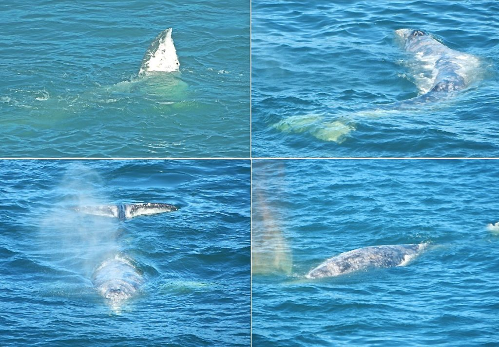 Nice collage of a friendly neighborhood whale off Depoe Bay! Cecille Kennedy