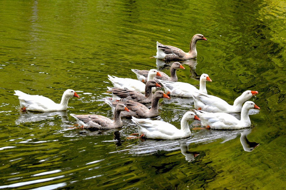 what were waddling goslings mere weeks ago are now graceful geese in the Yachats Valley. Ken Gagne photo