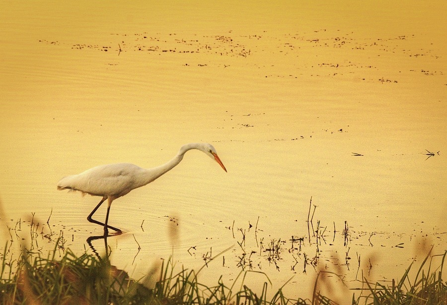 Egret enduring ing the mellow yellow at Baskett Slough,just west of Salem. Steve Power photo