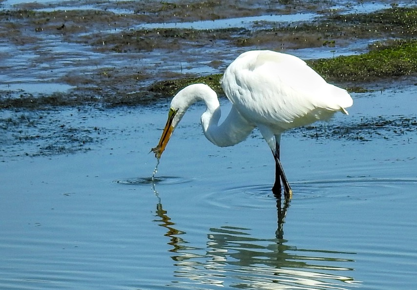 Mr. Egret stops off at Watering Hole Grocery on the way home... Ken Gagne