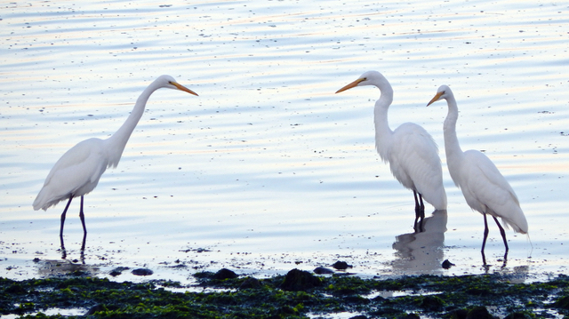 white egrets on Netarts Bay. Trivia: The great white egret is the symbol of the National Audubon Society, which was formed in part to prevent the killing of birds for their feathers. Cecille Kennedy photo