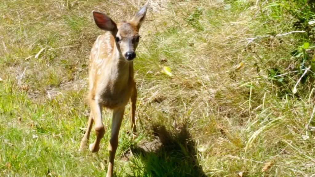 New fawn wandered away from Mom...but she's nearby... Pauline Morrison