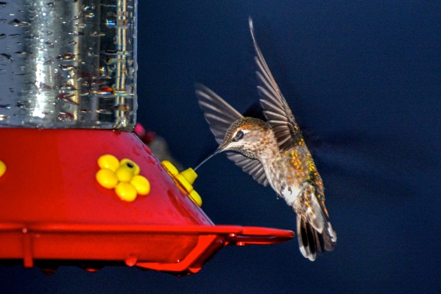 One last swig of that delicious blend that puts a little spring in your flap! Ken Gagne photo