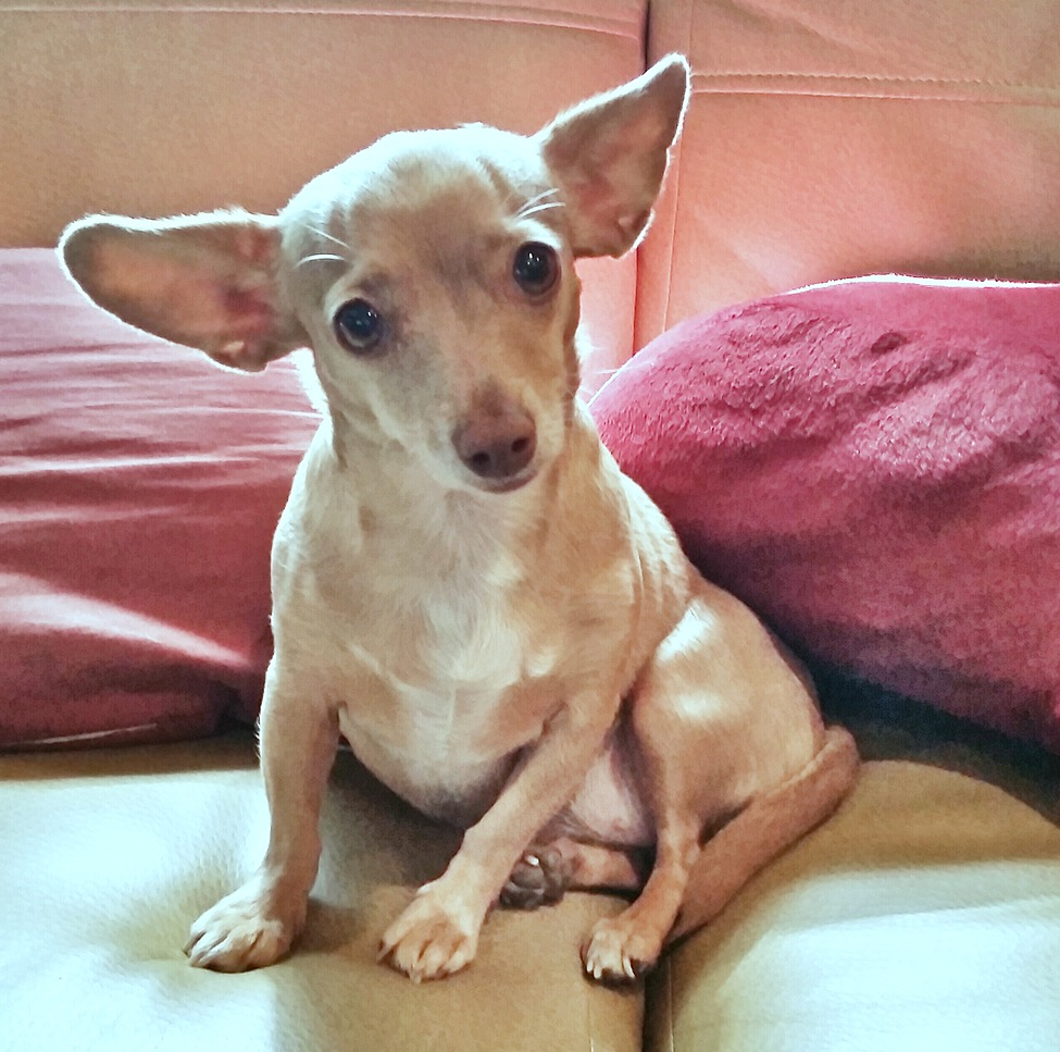ZoeyZoey, a small tan Chihuahua/Dachshund Mix wearing a black vest, no collar, went missing at approximately 2:30pm this afternoon near SW 11th and Canyon Park Drive in Lincoln City. Owners are desperate and want ZOEY returned ASAP. Please call 208-859-9129.