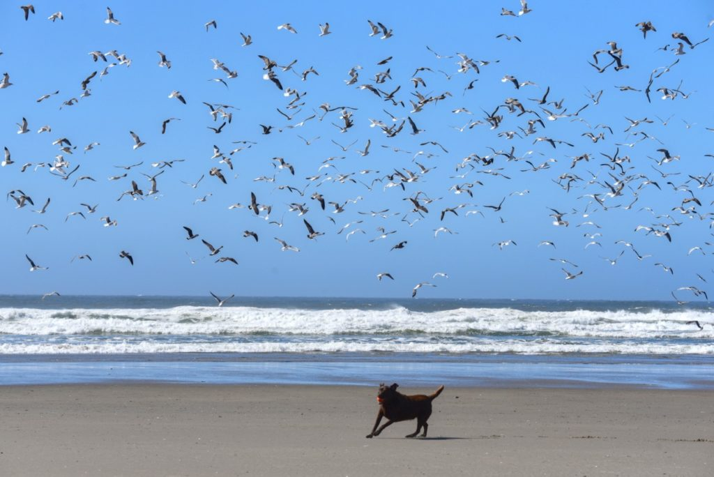 Molly fielding the ball on Yachats Bay... Ken Gagne photo
