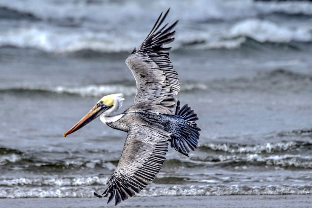Pelicans wisely heading for the beach and shelter... Ken Gagne photos