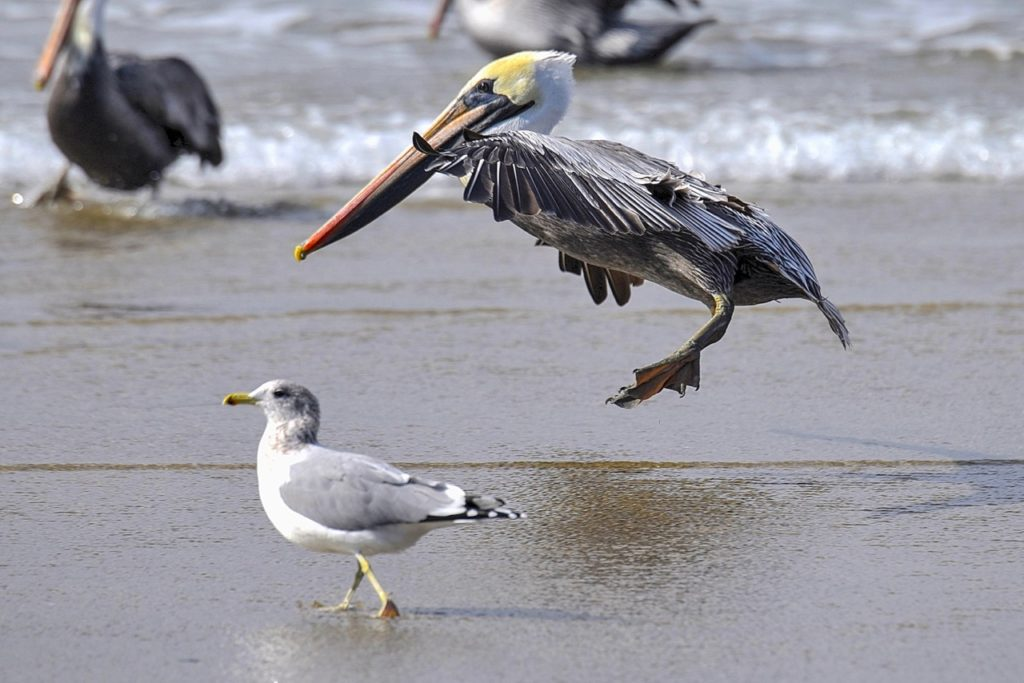 """Seagull:  """"There goes the neighborhood...."""" Ken Gagne"""