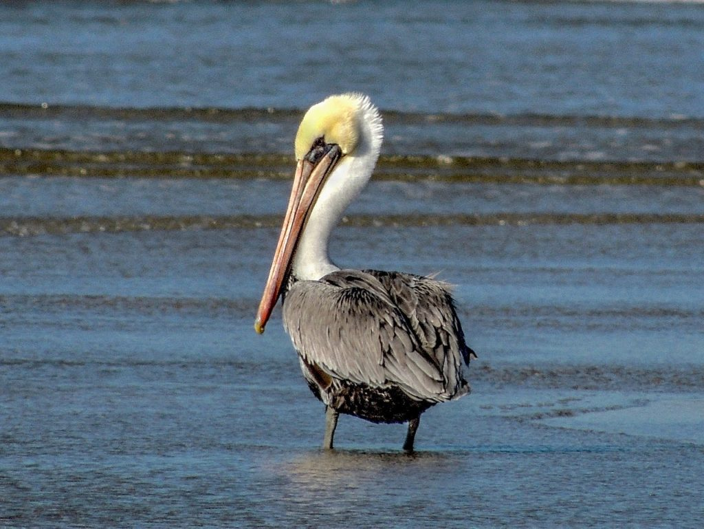 Pelican scanning the shallows for a tasty morsel. Ken Gagne