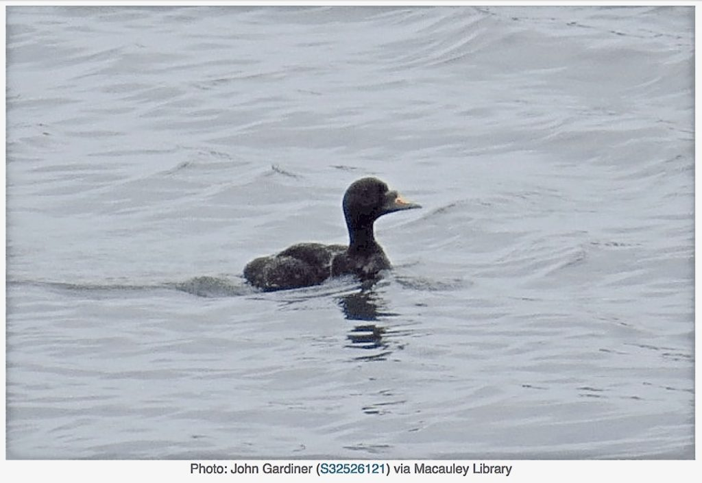 Common Scoter Rare in this part of the world. Courtesy photo