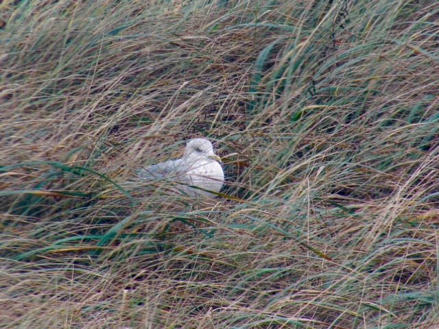 Gull nesting in upland from the shore.  Female and male seagulls take turns keeping the eggs warm Julie Sacchetti photo