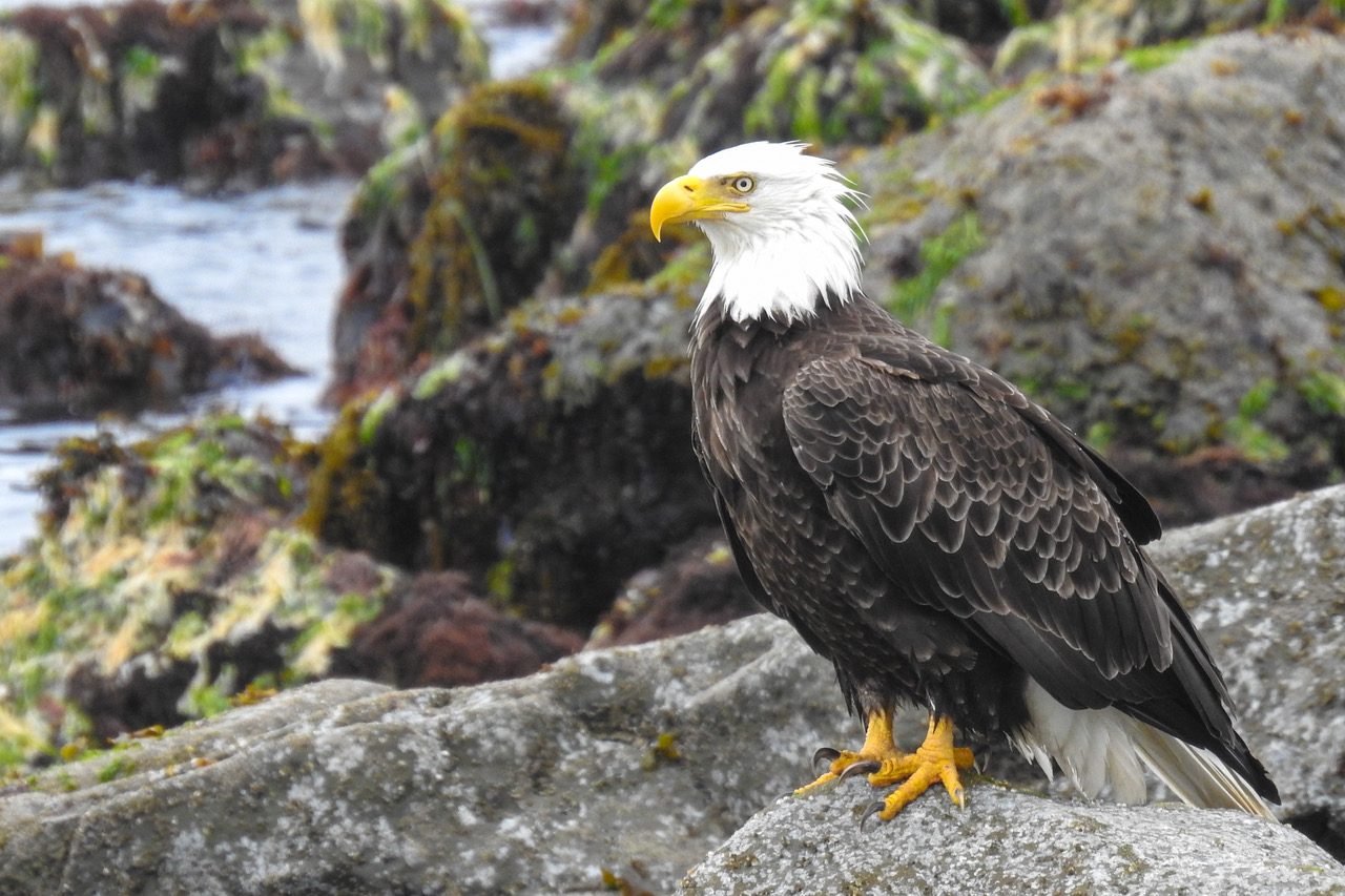 Bald Eagle asks a jetty-lunching Keith Nelson for a bite…. – News Lincoln County