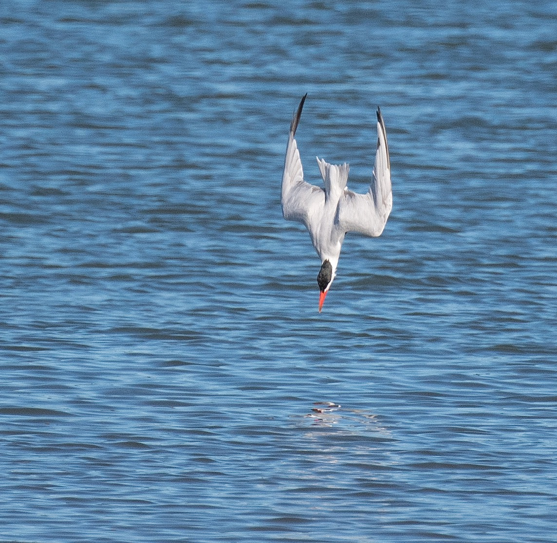 Caspian Tern already i...